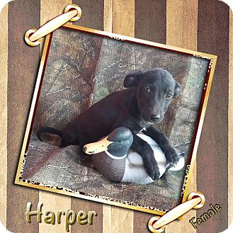 Shepherd (Unknown Type) Mix Puppy for adoption in Manchester, Connecticut - Harper in CT