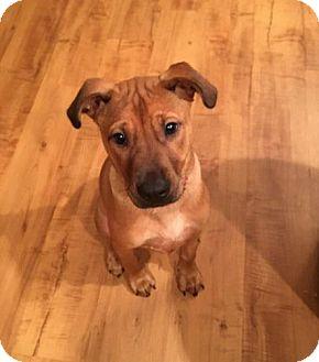 Boxer/German Shepherd Dog Mix Puppy for adoption in Charlotte, North Carolina - Penny