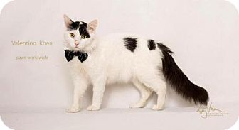 Turkish Van Cat for adoption in Corona, California - VALENTINO - SANTA BARBARA