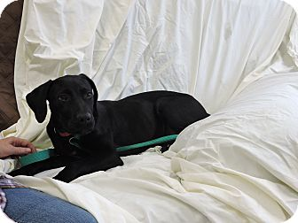 Labrador Retriever Mix Puppy for adoption in Washington, Georgia - Cola