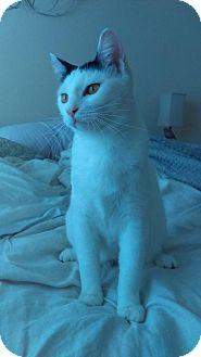 Domestic Shorthair Kitten for adoption in Orlando, Florida - Violet
