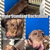 Dachshund Mix Dog for adoption in Greenville, Texas - Cage 17