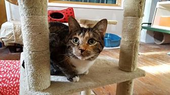 Domestic Shorthair Cat for adoption in Stroudsburg, Pennsylvania - Calypso