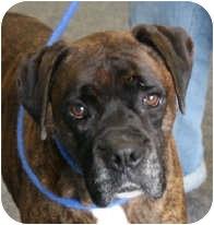 Boxer Dog for adoption in Grafton, Massachusetts - Eggie & Ginger - Bonded PAIR!