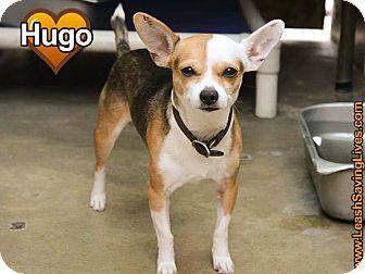 Chihuahua Mix Dog for adoption in Pitt Meadows, British Columbia - Hugo