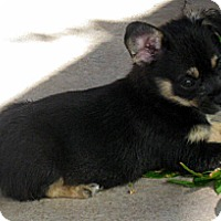 Adopt A Pet :: Baby Paprika - Oakley, CA