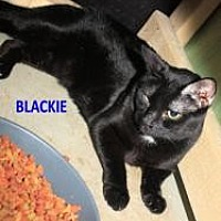 Adopt A Pet :: Blackie - St. James City, FL