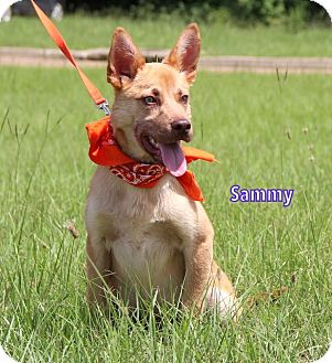 Shepherd (Unknown Type) Mix Dog for adoption in Groton, Massachusetts - Sammy