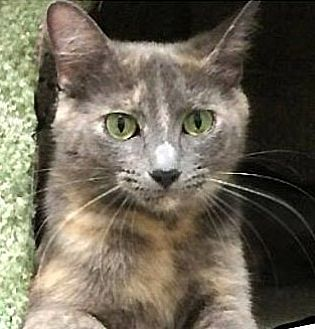 Domestic Shorthair Cat for adoption in Farmington Hills, Michigan - Matilda