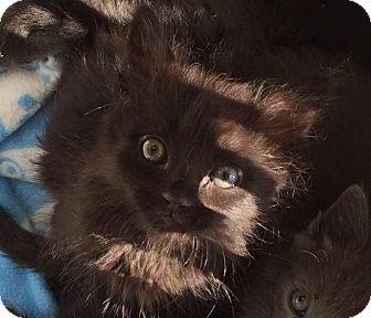 Domestic Mediumhair Kitten for adoption in Tucson, Arizona - Colossus