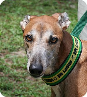 Greyhound Dog for adoption in West Palm Beach, Florida - Kora
