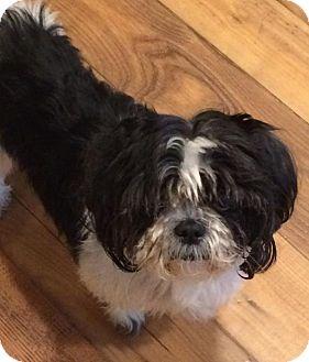 Shih Tzu Dog for adoption in Homer Glen, Illinois - LingTseah