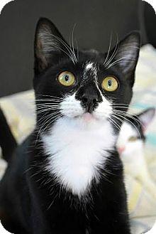 Domestic Shorthair Cat for adoption in Aiken, South Carolina - Roxie