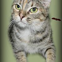 American Shorthair Cat for adoption in Benton, Arkansas - Ella