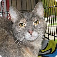 Domestic Shorthair Cat for adoption in New Kensington, Pennsylvania - Margie