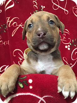 American Staffordshire Terrier/American Pit Bull Terrier Mix Puppy for adoption in San Diego, California - Jaina