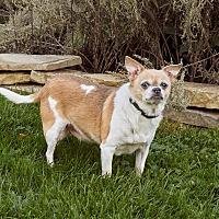 Chihuahua Mix Dog for adoption in Dayton, Ohio - Oliver - Lima, OH