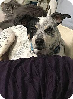 German Shorthaired Pointer/Terrier (Unknown Type, Medium) Mix Dog for adoption in joliet, Illinois - GAYLA