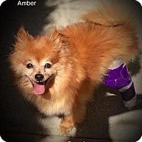 Adopt A Pet :: Amber - Studio City, CA