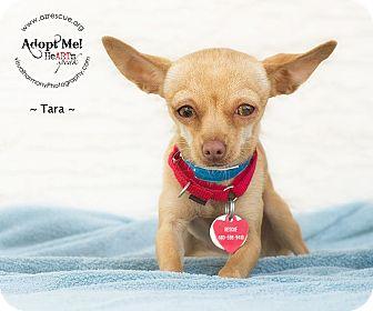 Chihuahua Dog for adoption in Phoenix, Arizona - Tara