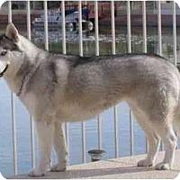 Adopt A Pet :: Maya - Gilbert, AZ