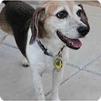 Adopt A Pet :: Barklie - Phoenix, AZ
