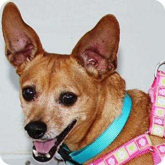 Dachshund/Jack Russell Terrier Mix Puppy for adoption in Gilbert, Arizona - Crickett