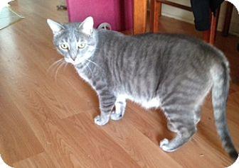 Domestic Shorthair Cat for adoption in Toronto, Ontario - Larry
