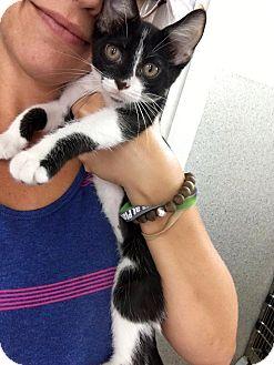 Domestic Shorthair Cat for adoption in Covington, Kentucky - Spearow