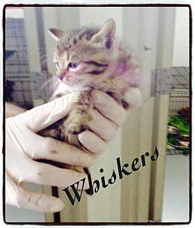 Domestic Shorthair Kitten for adoption in Dillon, South Carolina - Whiskers