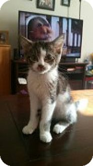 Domestic Shorthair Kitten for adoption in McHenry, Illinois - Sprite
