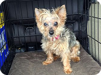 Yorkie, Yorkshire Terrier Dog for adoption in Tallahassee, Florida - Sophia