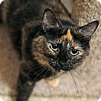 Domestic Shorthair Cat for adoption in Tustin, California - Ali