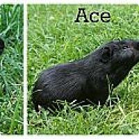 Adopt A Pet :: Ace - Brooklyn Park, MN