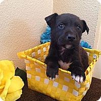 Adopt A Pet :: Django - Inglewood, CA
