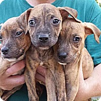 Adopt A Pet :: Peanut Butter and Jelly Babies - Marlton, NJ