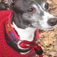 Italian Greyhound Dog for adoption in Croton, New York - Italian Greyhound