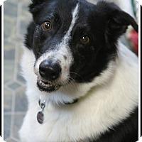 Adopt A Pet :: Chance - Rockwall, TX
