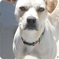 American Pit Bull Terrier Mix Dog for adoption in Waupaca, Wisconsin - Daisy Mae