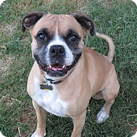Boxer Dog for adoption in Scottsdale, Arizona - Ike