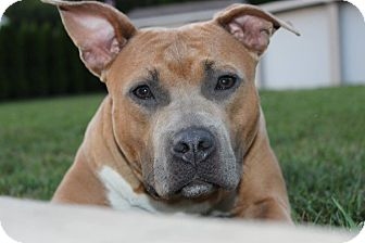 American Pit Bull Terrier/American Staffordshire Terrier Mix Dog for adoption in Shrewsbury, New Jersey - Trudy