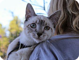 Siamese Kitten for adoption in Ocean Springs, Mississippi - Snow