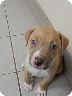 American Staffordshire Terrier Mix Puppy for adoption in Long Beach, New York - Dallas