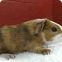 Adopt A Pet :: *Urgent* Honeybee - Fullerton, CA