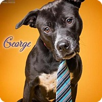 Adopt A Pet :: Georgie - Columbia, MD