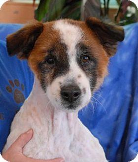 Sheltie, Shetland Sheepdog Mix Dog for adoption in Las Vegas, Nevada - Elroy