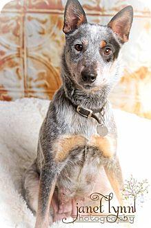 Australian Cattle Dog Dog for adoption in Chattanooga, Tennessee - Bobbi
