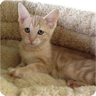 Domestic Shorthair Kitten for adoption in Sugar Land, Texas - -Juniper