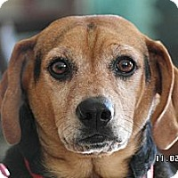 Adopt A Pet :: Brady - Indianapolis, IN