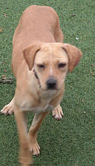 Labrador Retriever Mix Dog for adoption in San Pablo, California - GINGER